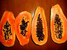 Caribbean Red Papaya Tree Seeds! Grows fruit in only 9 MONTHS from seed!10 seeds