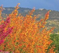 25 Agastache aurantiaca Seeds,Apricot Sprite ,Hummingbird Mint, Hardy to zone 5.