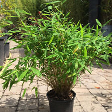 6 x Bamboo. Fargesia Murieliae, Umbrella Bamboo. INCLUDES FREE DELIVERY!