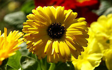 POT MARIGOLD - VIBRANT YELLOW - Lots of Health Benefits - NON GMO - 25 Seeds