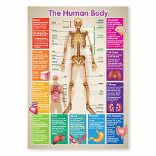 A3 Laminated Human Body Wall Chart