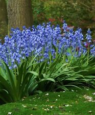 HYACINTHOIDES HISPANICA (25 BULBS)A.K.A Wood Hyacinth or Spanish Bluebells