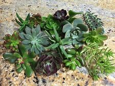 assorted small succulents x 24 cuttings