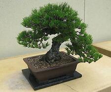 PINO NERO DEL GIAPPONE (PINUS THUNBERGII) - 10 semi bonsai