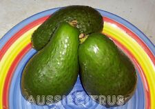 SHEPARD AVOCADO PLANT,TREE,TROPICAL,jam,spice,herb,edible,evergreen,fruit tree