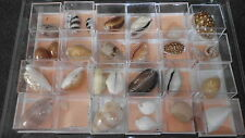 Very rare! Cypraea collection from Australia, philippe; New Caledonia & All world