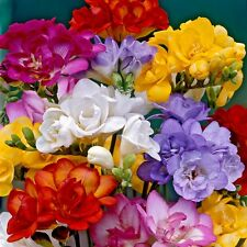 Freesia Late Spring Fragrant Double Flower Mix 20 Bulbs