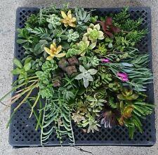 30 Variety 35 Succulent Cuttings Living Wall Garden Wedding Favors Arrangment