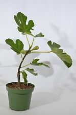 """Chicago Edible Fig - 4"""" Pot Mature Edible Fruit GIFT Holiday Easy to Grow Hardy"""