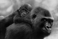 Framed Print - Gorilla and Baby Chimp (Picture Poster Animal Monkey Ape Art)