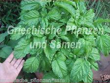 Basilikum Napoletano 50 Samen riesige Blätter  große Büsche Kräuter