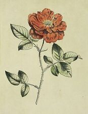 ROSEN - China-Rose - Rosa semperflorens - Curtis - kolor. Kupferstich 1794