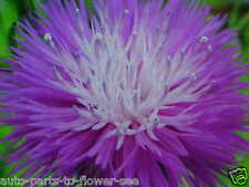 PURPLE PASSION SPELL  IMPERIALS SWEET SULTAN  FLOWER SEEDS   USA SHIPPED ITEM