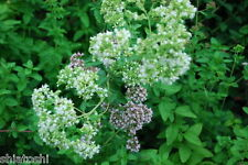 50 GREEK OREGANO SEEDS, SHS-5206, Italian/Winter Marjoram Oreganum