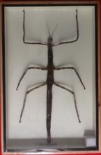 REAL BIG FEMALE STICK BUG INSECT FAMILY PHASMATIDAE DISPLAY TAXIDERMY
