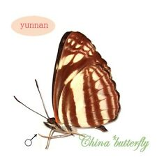 5 unmounted butterfly Neptis soma shania #x11 A1- A-