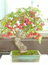 APPLE TREE - Malus Sylvestris - Bonsai 30 SEEDS - SOW ALL YEAR no15