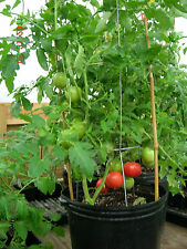 Organic Pusa Ruby High Yield Tomato 50 Seeds for Terrace Kitchen Gardening