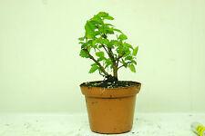 Olmo Siberiano en 9CM Olla, Bonsai árbol de arranque material Ulmus pumila