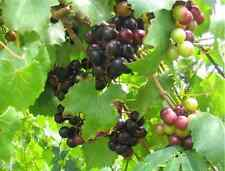 5 MUSCADINE GRAPE MIX Scuppernong Vitis Rotundifolia Fruit Vine Seeds *Comb S/H