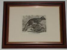 Print dated 1894 yrs old The Thylacine or Tasmanian Wolf