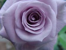 Roses Ebay