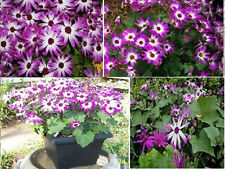 Senetti Pericallis Magenta   Pink and White Annual Flower  Over 100 Seeds