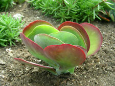 """One pc 3"""" to 4"""" Kalanchoe Thyrsiflora Succulent Rooted Plant"""