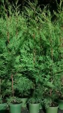 10 X 3-4 foot TREES GREEN LEYLANDII HEDGE FAST GROWING CONIFER PLANTS 2 LT POT