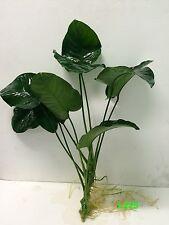 """Exotic Live Aquatic Plant Anubias barteri 'broad leaf"""" (XL) Loose L225"""