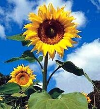 10 Giant Sunflower Seeds - TITAN (Helianthus annuus)