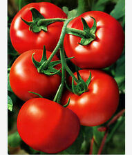 FD2125 Red Tomato Seed Organic Healthy Lycopersicon esculentum ~1 Pack 30 Seeds~