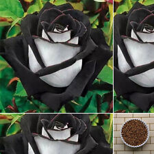 200Pcs Rare White + Black Rose Flower Seeds Home 4mm Plant Garden Bonsai Punk