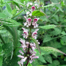 100 MOTHERWORT Herb Flower Seeds High nutritional value Free Shipping