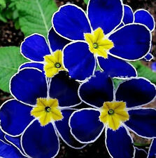 100pcs Rare Blue Evening Primrose Seeds Easy to Plant Garden Decor Flower