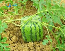 Square Watermelon Seeds Sweet Fruit 15 Seeds New Generation Scarce Home Garden