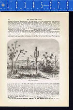Giant Cereus Cactus, Great Plains- 1880 Wood Engraved Page of History