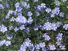 Flax - Wild Blue - Heirloom - 30 Seeds