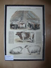 Genuine Hand Coloured Antique Print of The Christmas Cattle Show. by Anon