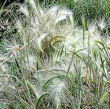 Ornamental Grass* Squirrel Tail Grass Seeds* Foxtail Barley*Hordeum Jubatum