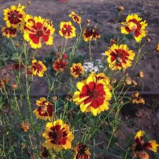 Plains Coreopsis Flower Seeds (~150): Certified Organic, Non-GMO, Heirloom