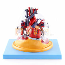 Medical Anatomical Model Transparent Lung,Trachea and Bronchial Tree with Heart