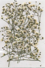 REAL PRESSED FLOWERS 15 SMALL SPRAYS OF WHITE GYP - CARDMAKING & FLORAL CRAFTS