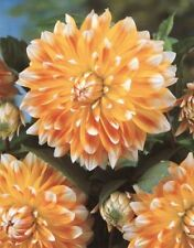 New Special Dinner Plate Decorative Dahlia 'Peaches and Cream' Prins Bulb/Tuber