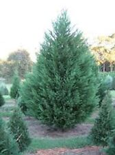 Murray Cypress, 100 plants, upright evergreen plant, plants, FREE delivery