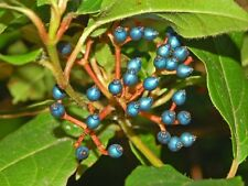 VIBURNUM TINUS -  BEAUTIFUL BLUE BERRIES AND WHITE BLOSSOMS wholesales 150 seeds