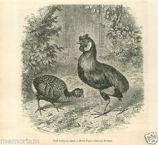 Poule & Coq Sans Queue Hen & Rooster Tail Without GRAVURE ANTIQUE OLD PRINT 1855