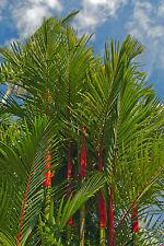 schlanke rote Stämme werden von grünen Palmenblättern geziert: Siegellack-Palme