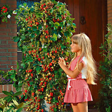 Red 100pcs Strawberry Climbing Strawberry Fruits Plant Seeds Home Garden Seeds