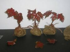 CRIMSON KING MAPLE *6-10 INCH**BONSAI * BUY ONE GET ONE FREE *** NOW SHIPPING